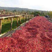 ethiopian_sidamo_coffee_cartel