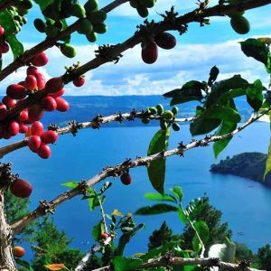 sumatra-lintong-region-coffee